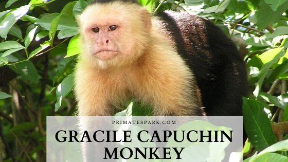 gracile capuchin monkey