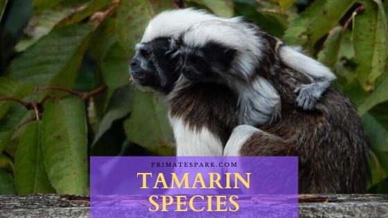 tamarin species