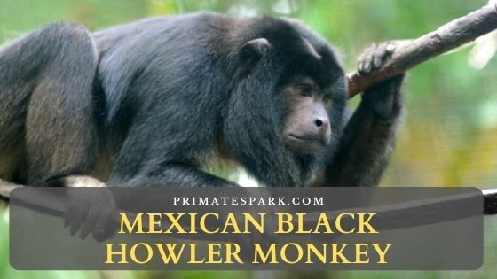 Mexican black howler monkey