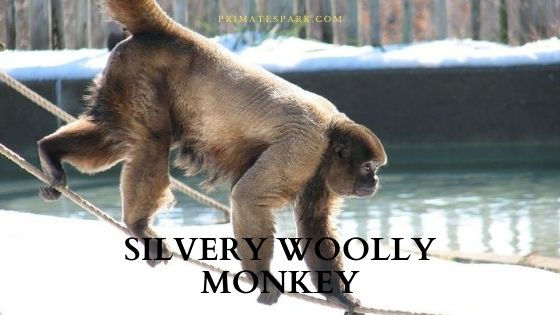 Silvery woolly monkey