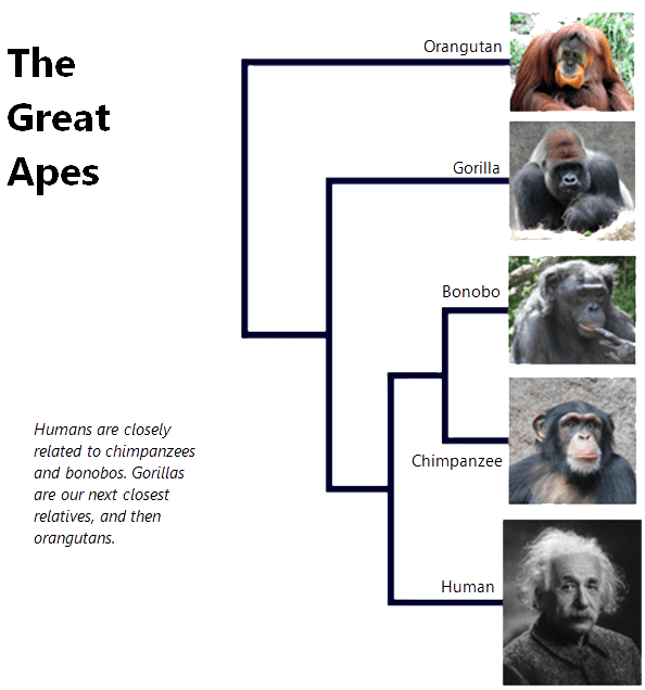 are humans great apes