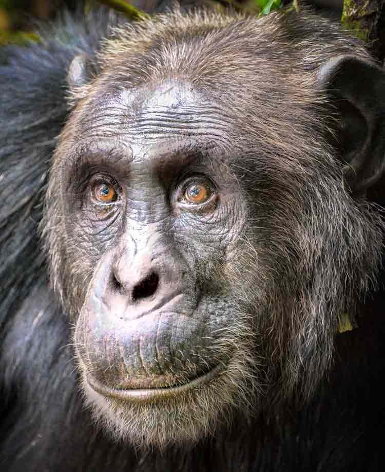 bili chimpanzee