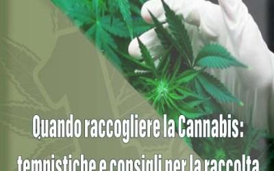 Quando raccogliere la Cannabis: tempistiche e consigli per la raccolta.