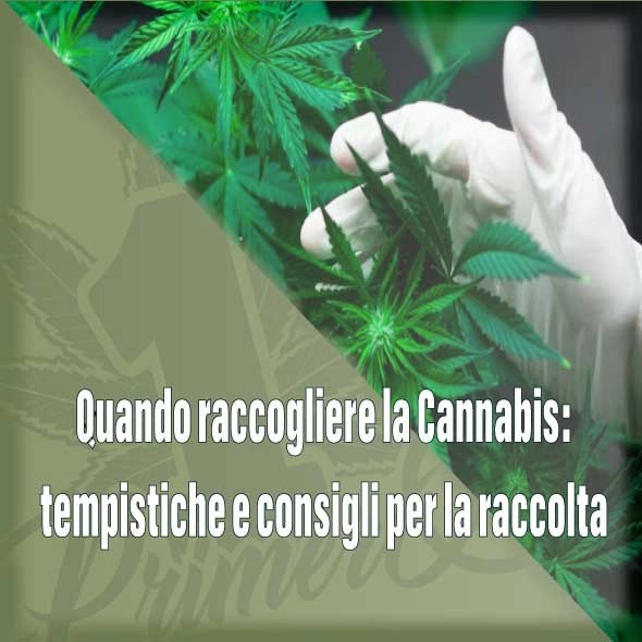 quando-raccogliere-la-cannabis-facebook