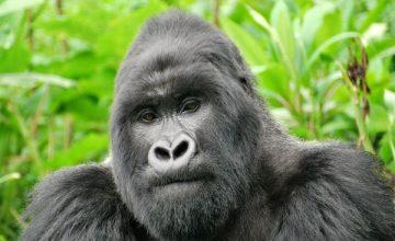 11 Days Rwanda Gorilla Safari uganda tour