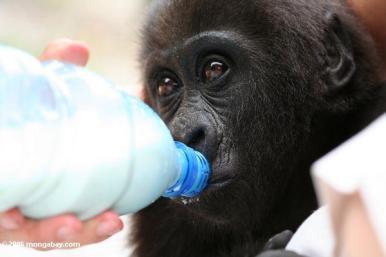 Baby gorilla feeding