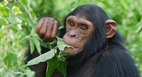 3 Days Chimpanzee Habituation Safari in Uganda to Kibale National Park