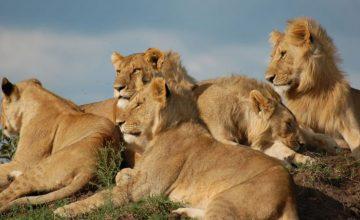 8 Days Kenya & Tanzania Safari to Lake Nakuru, Maasai Mara, Serengeti, Ngorongoro & Lake manyara