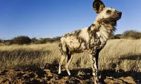 africa-wild-dog-uganda-safaris-uganda-tours