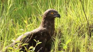 brown-snake-eagle-uganda-wildlife-safaris