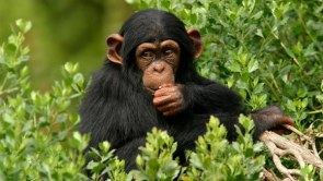 Chimpanzee Trekking Safari in Uganda to Kibale Forest NP - 2 Days uganda tour