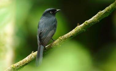 flycatcher_black_yellow-eyed