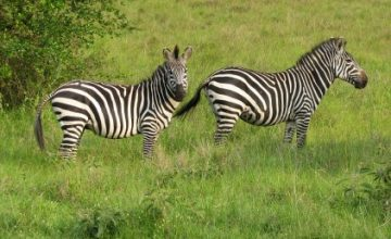 Game Viewing Safari in Uganda 5 Days uganda tour