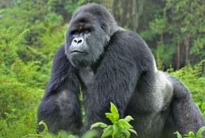 Gorilla Physical Description