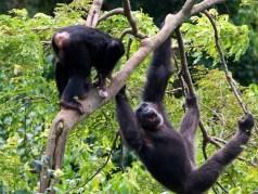 Ngamba island chimps-Uganda