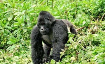 Rwanda Gorilla Safaris – 1 Day