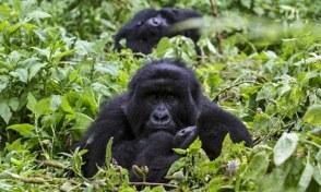 Where do Gorillas live in Uganda