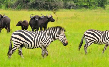 Wildlife Safari in Uganda 8 days uganda tour
