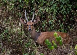 Wildlife in Volcanoes National Park bushbuck