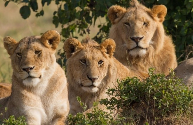 The arrival of lions in akagera national park beyond the expected – Rwanda  safari news