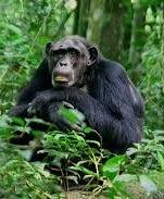 chimps-kibale np