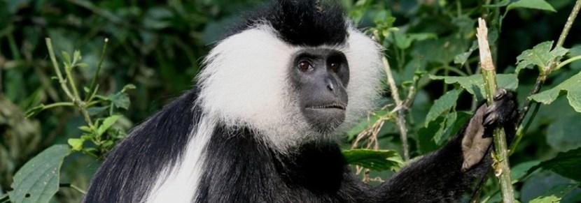 colobus-monkey-tracking-in-nyungwe