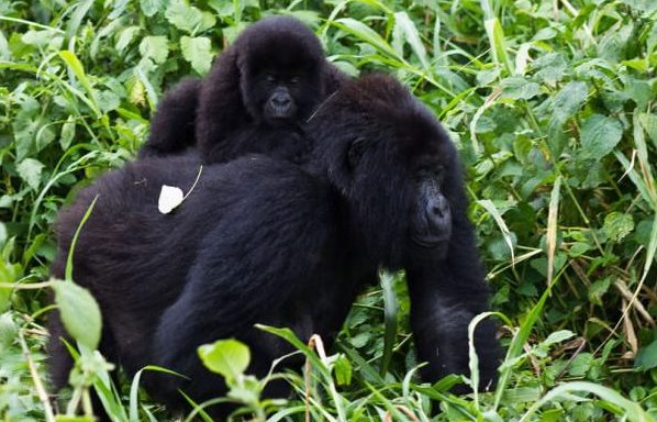 The lovely gorillas encountered during a gorilla trekking safari