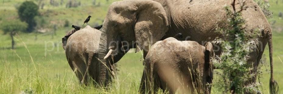 elephants-queenelizabethnp