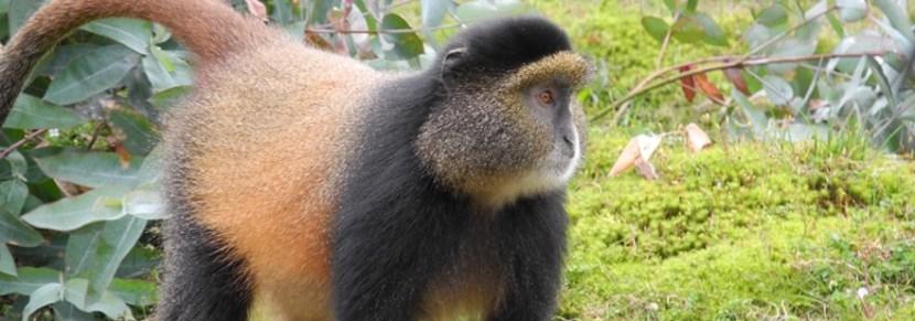 golden-monkeys-in-rwanda-volcanoes