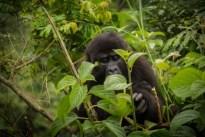 gorilla and tours - uganda