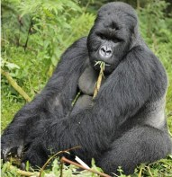 gorilla boom in rwanda
