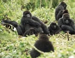 gorilla habituation