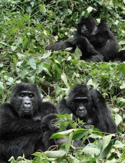 gorilla safari tour in uganda