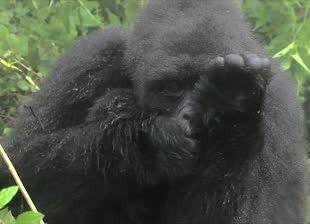 gorilla trekking-Rwanda