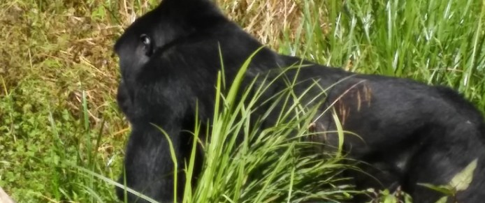gorilla-trekking-in-bwindi-on-a-rwanda-safari