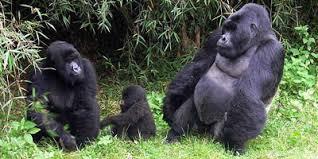 rwanda gorilla family