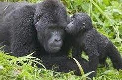 gorilla trekking safaris in East Africa
