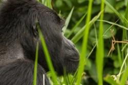 gorilla tacking in rwanda