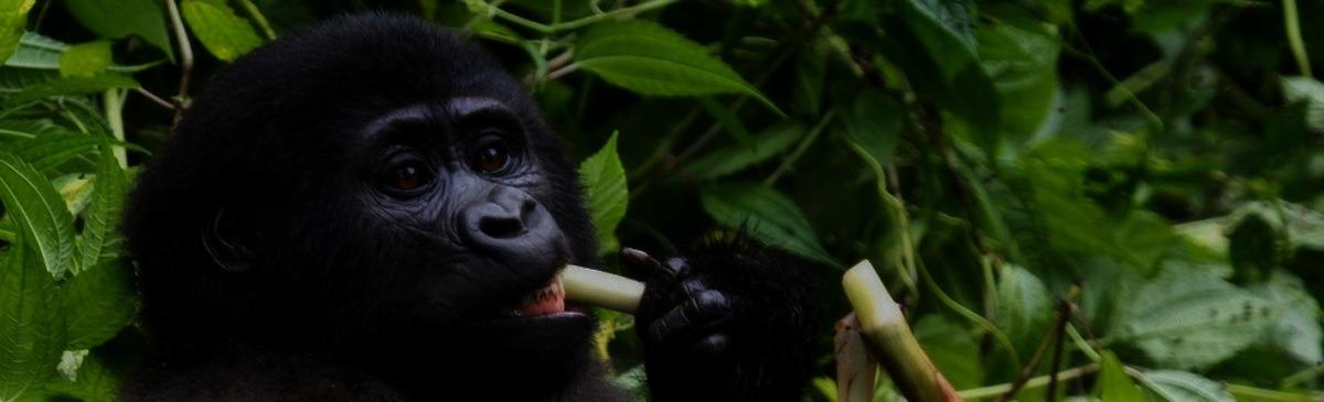 gorillasafari
