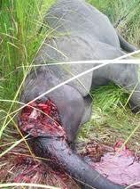 killed elephant