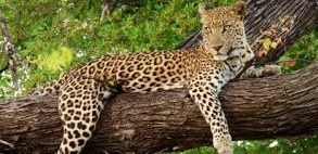 leopard-uganda safaris