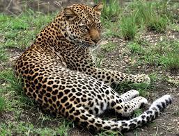 leopards - uganda