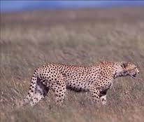 lion- uganda wildlife