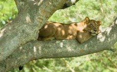 tree climbing lion in uganda