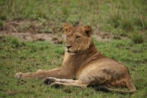 lion in Kidepo