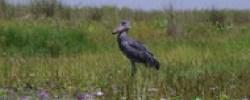 mabamba- birding-tour-uganda-safari