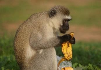 primates in Uganda