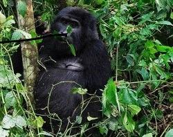 mountain-gorilla-trekking-rwanda