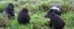 mountain-gorillas-1day rwanda safari