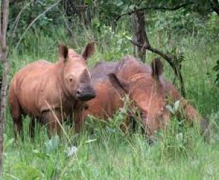 rhino safaris in uganda